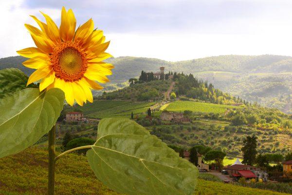 Chianti - sunflower and hilltop village