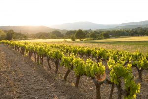 Bandol wine country: neat rows of vines in a gently sloping green valley