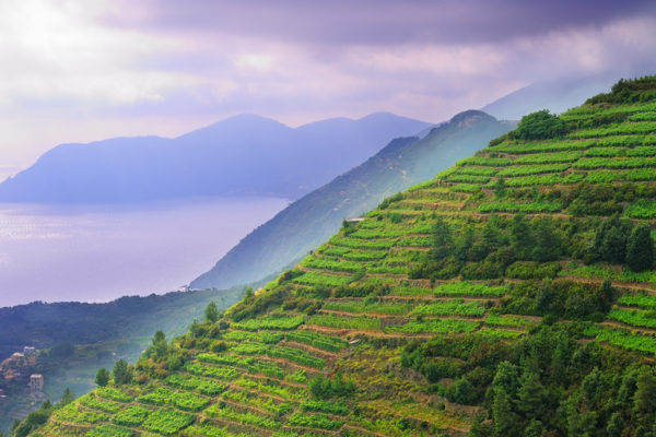 green cliffs with terraced vineyards in the Cinque Terre