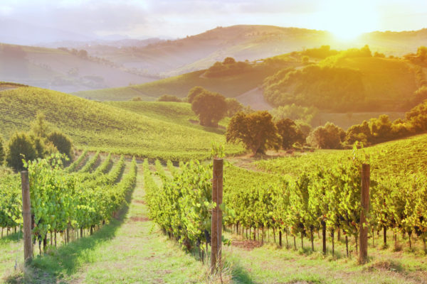 green rows of vines at sunrise in Chianti