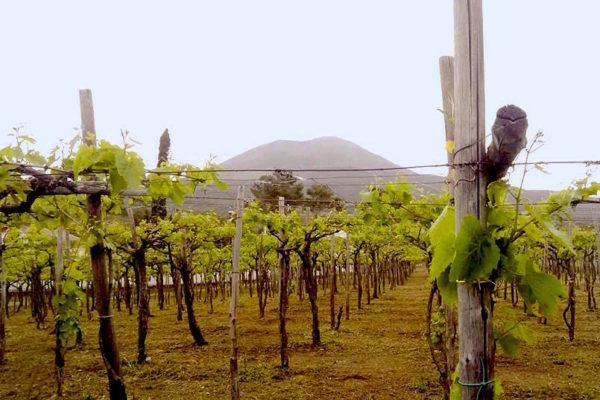 vineyard with Mt. Vesuvius in the distance